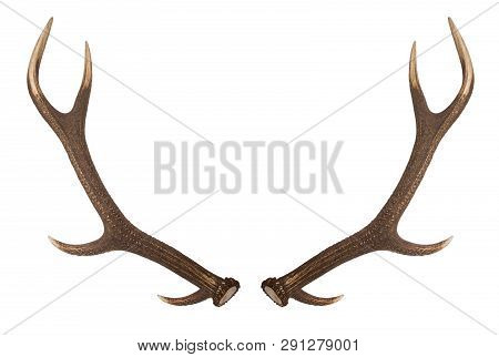 Antler Isolated On White Background. Large Deer Antlers On White Background.