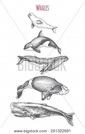 Card With Killer Whale, Beluga, Sperm Whale, Humpback, Bowhead Whale.