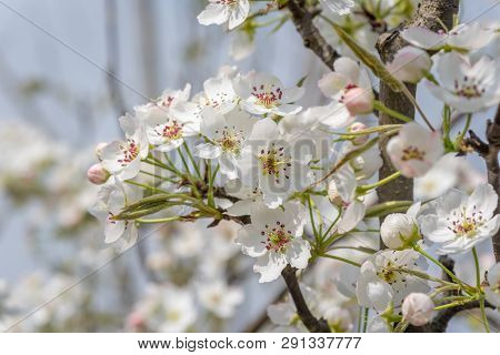 Pear Blossom Tree Flowers Close-up In Spring In Longquanyi Mountains, Chengdu, China