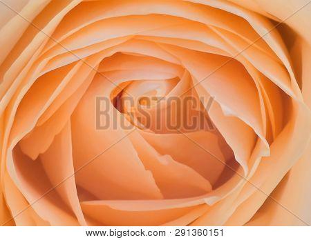 Top View Closeup Photo Of Orange Rose Flower, Flowery Texture, Petals Pattern Background, Flowery Ov