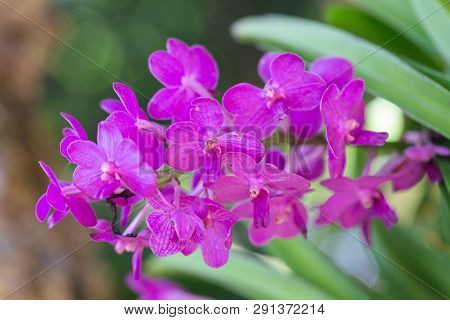 Orchid Flower. Vanda Orchid. Flower In Garden At Sunny Summer Or Spring Day. Flower For Postcard Bea