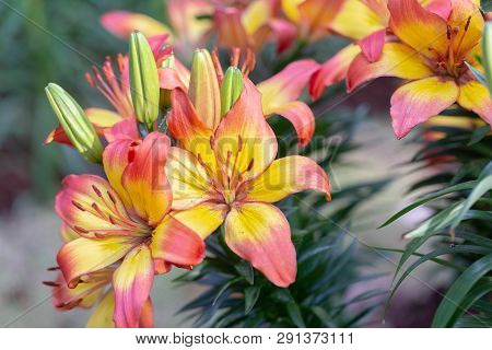 Orange Yellow Lily Flower. Beautiful Lily Flower In Lily Flower Garden. Lily Lilium Hybrids Flower.