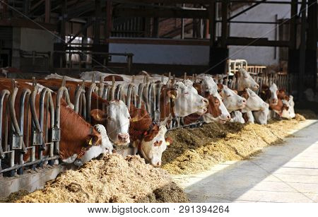 Row Of Simmental Cows Eating, Sunlight Falling Into The Open Cowshed