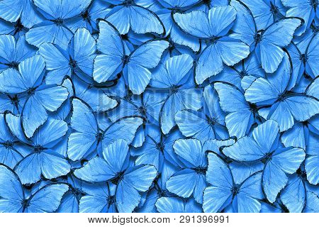Soft Blue Natural Textural Background. Wings Of A Butterfly Morpho. Flight Of Bright Blue Butterflie