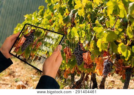 A Farmer Is Holding A Tablet On The Background Of A Vineyard. Smart Farming And Digital Agriculture