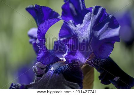 Bitone Purple Blue Tall Bearded Iris Oklahoma Crude Close Up, Selective Focus. From The Largest Euro