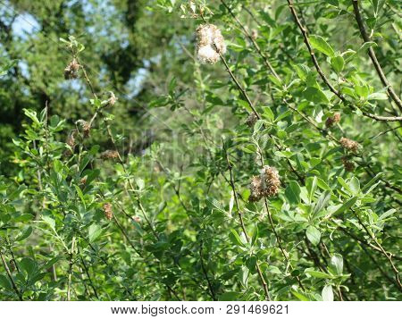 Salix Tree ( Salix Cinerea ) With Tiny Seeds Embedded In White Cottony Down Which Assists Wind Dispe