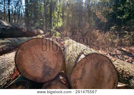 Backlit Image Of Thick Tree Trunks Sawn In The Foreground Of A Dutch Forest In The Winter Season.
