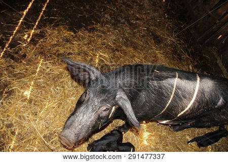 Group of piglets and mother in pig farm. Pig mother and pigs in barn. Brood of little pigs on farm. Pig family. Meat industry. Farm animals. Piglets live at farm poster