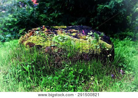 A Fantastic Fantastic Coniferous Stump In The Thicket Of The Forest. Enchanted Stump In The World Of