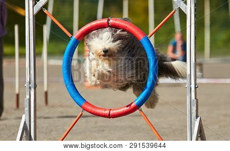 Bearded Collie Jumping Over A Hurdle At Dog Agility Training. Big Fur Blowing In Wind. Action And Sp