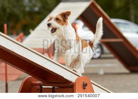 Jack Russell Terrier Walking Over A Hurdle At Dog Agility Training. Big Fur Blowing In Wind. Action
