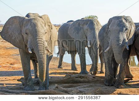Herd Of Elephants (pachyderm) Standing Infront Of A Small Waterhole In Nehimba, Hwange National Park