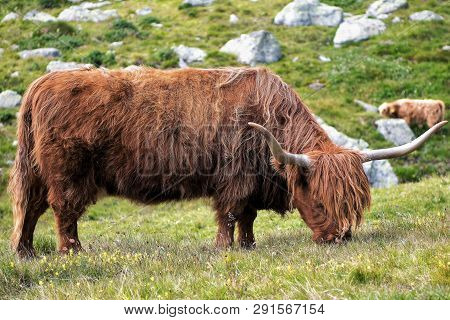 Galloway cattle  on an Alp Meadow. This is one part f the possibilities to maintain the traditional Alp Meadows. Galloways have a thick  Skin and a two layer fur. therfor it is possible to keep they all the winter outside. The milk is unused, but the meat poster