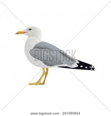 The common seagull mew gull European herring gull. Vector illustration. Element for your design. Resting curious standing sea bird poster