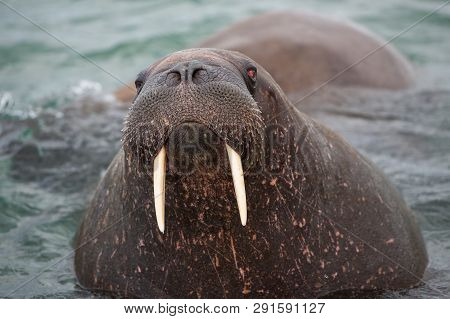 Look In My Eyes - Heavyweight, A  Big Walrus With Ist Tusks On The Coast Of Svalbard. The Hunt Of Wa