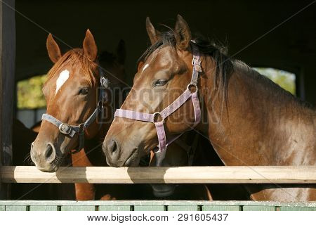 Nice curious thoroughbred foals standing  in the stable door. Purebred chestnut youngsters standing in the barn. Horses looking out from behind green wooden fence of the barn at rural animal farm summertime poster