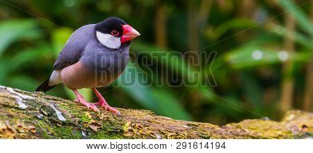 Java Rice Sparrow, Popular Tropical Bird From The Java Island Of Indonesia, Popular Aviary Pet In Av
