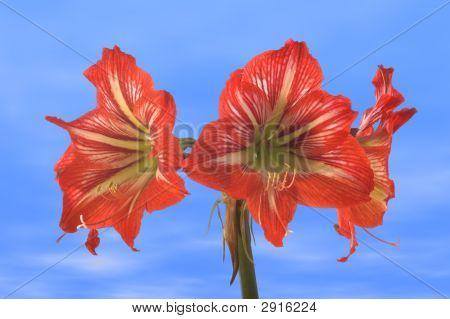 Amaryllis Flowers Over Blue Sky