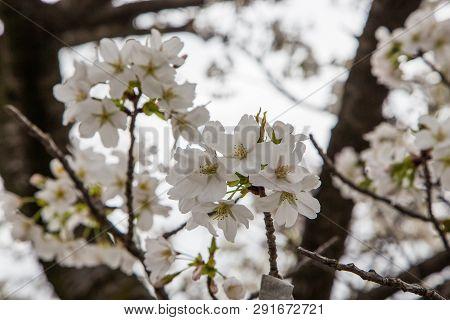 Close Up White Sakura  (somei Yoshino) Blossom Near Osaka Castle