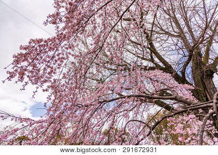 Close Up Pink Sakura (yamazakura) Blossom Near Osaka Castle