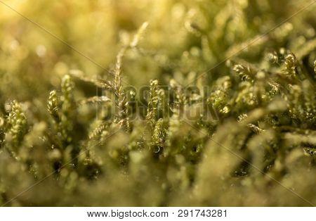 Beautiful Green Moss In The Sunlight, Moss Closeup, Macro. Moss Grows On The Tree, Beautiful Backgro