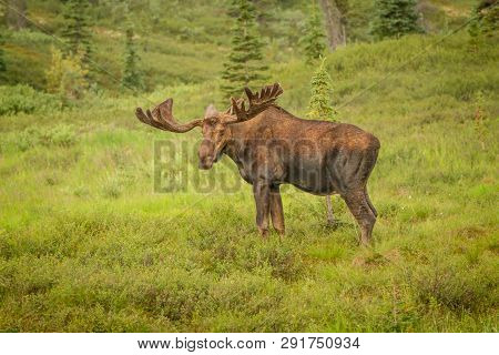 Moose With Antlers Staring At Viewer While Standing In A Meadow In Denali National Park, Alaska, Usa