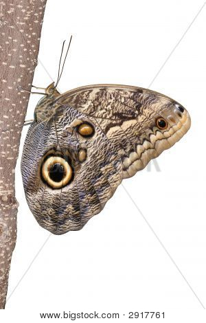 Large Owl Butterfly sitting on tree trunk poster