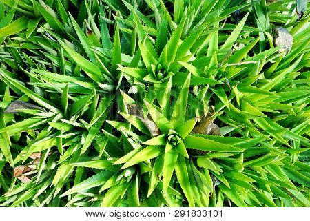 Top View Of Aloe Vera In The Garden As A Background, Tropical Green Plants (lilium,  Asphodelaceae,