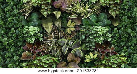 Beautiful Green Plant Wall Background. Horizontal Picture Of Garden With Dense Vegetation. Ivy, Drac