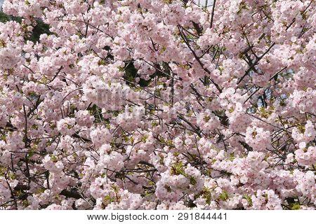 Blooming Pink Sacura Tree In Spring. Cherry Blossom. Sacura Cherry-tree. Sacura Flowers On Blue Sky.