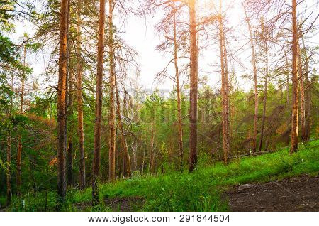 Summer forest nature, forest trees on the mountain slope - summer forest landscape. Mountain forest trees in the summer sunset light. View from the Sugomak Mountain, Southern Urals, Russia. Forest sunset summer landscape scene