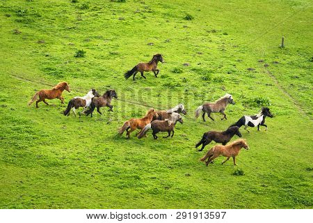 Herd Of Wild Pony Horses Running On A Rural Meadow With Green Grass