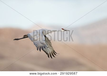 Sandhill Crane (Grus canadensis) in flight - Bosque del Apache National Wildlife Refuge, New Mexico poster
