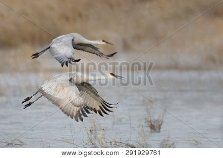 Sandhill Cranes (Grus canadensis) taking flight - Bosque del Apache National Wildlife Refuge, New Mexico poster
