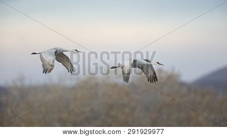 Sandhill Cranes (Grus canadensis) in flight - Bosque del Apache National Wildlife Refuge, New Mexico poster
