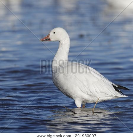 Snow Goose (Chen caerulescens) wading in a shallow lake - Bosque del Apache National Wildlife Refuge, New Mexico poster