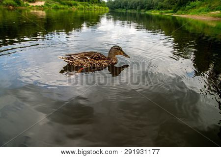 Duck Swimming In The River Gauja. Duck On Coast Of River Gauja In Latvia. Duck Is A Waterbird With A