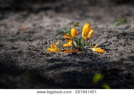 Crocus Yellow Spring Flowers Nature Close Up Macro Day Light