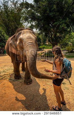 Girl Tourist Feeds Bananas To Elephant. Thailand