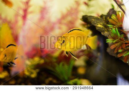 Closeup Shot Of An Electric Yellow Cichlid Inside A Decorative Colorful Aquarium.