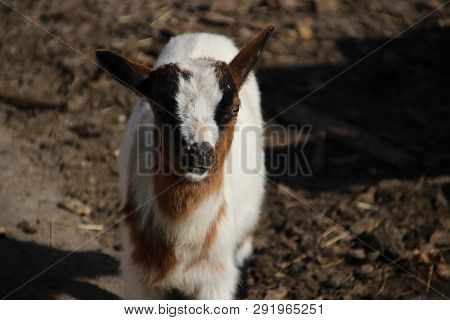 Brown And White Goats In The Sun On A Public Children Farm In Moordrecht In The Netherlands