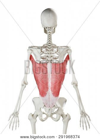3d rendered medically accurate illustration of a womans Latissimus Dorsi