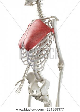 3d rendered medically accurate illustration of a womans Pectoralis Major