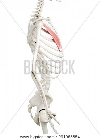 3d rendered medically accurate illustration of a womans Pectoralis Minor