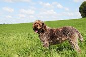 Profile of a Korthals Griffon, otherwise known as the Wire-Haired Pointing Griffon, a breed of dog used in hunting as a pointer and gundog, standing in a field of clover poster