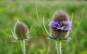 close-up of elliptical shaped inflorescence of wild teasel, dipsacum fullonum, with lavender colored blossoms poster