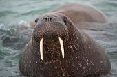 Look in my eyes - Heavyweight, a  big Walrus with ist tusks on the coast of Svalbard. The hunt of walrus is strictly forbidden  because these animals are strong protected nowadays. A walrus can get a weight up to 1200 kilogram. They can get an age of 40 y poster