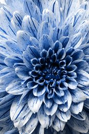 Flower Background, Macro And Details Of Blue Aster, For Floral Background
