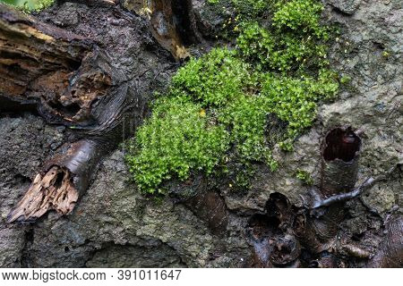 Vibrant Moist Moss Forest Green Texture With Green Leaves Growing On Wood Log